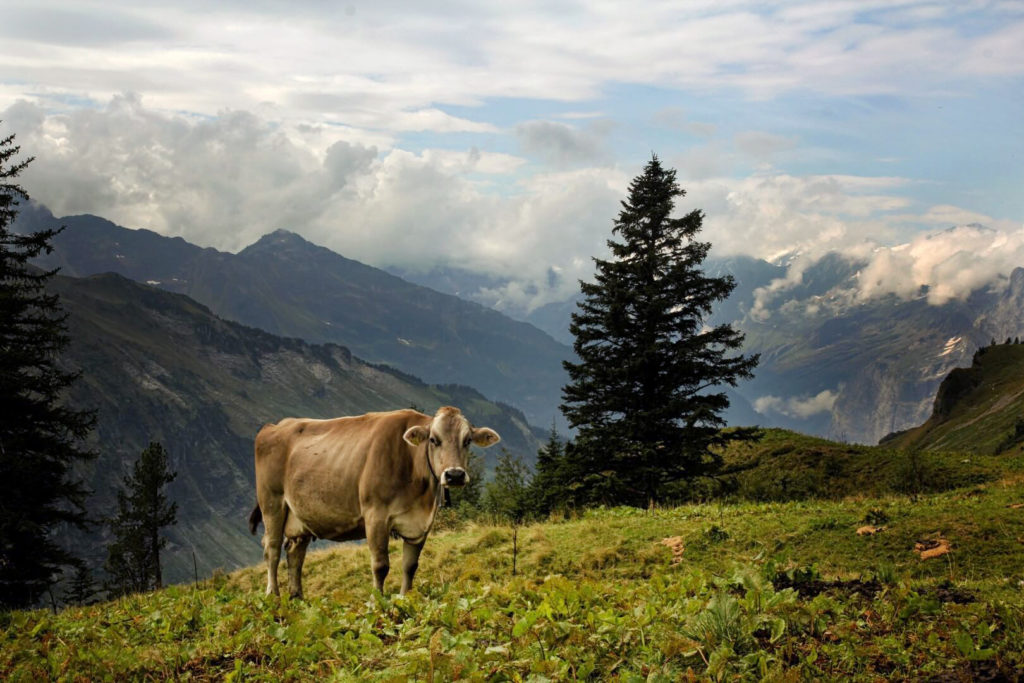 Switzerland - Cow infront of Landscape
